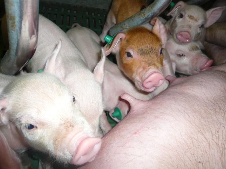 Geiger - Ferkelerzuegung & Schweinemast
