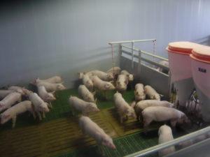 Geiger Agrarservice - Ferkelaufzucht